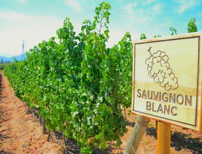 Discover the character of Sauvignon Blanc