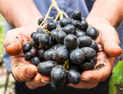 Grenache is usually used in blended wines because of the fruity flavour and body it adds